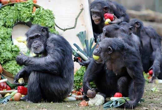 chimp7