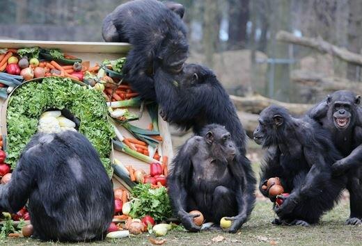 chimp8