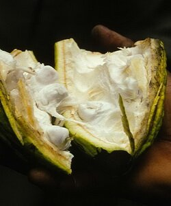 Шоколадное дерево и какао бобы. Фотографии
