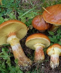 Виды съедобных грибов маслята. Фотографии