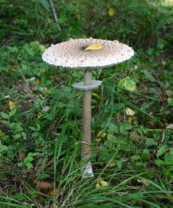 Как выглядят грибы зонтики и когда их собирать. Фотографии