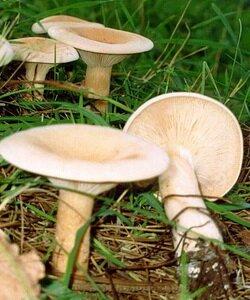 Съедобные грибы говорушки. Фотографии