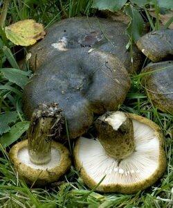 Какие бывают грибы грузди. Фотографии