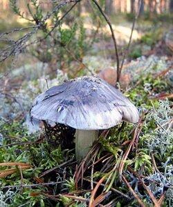 Съедобные грибы рядовки. Фотографии
