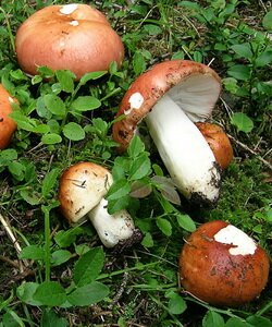 Описание, как выглядят грибы сыроежки. Фотографии