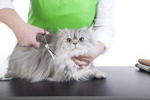 Стрижка кошек: когда и для чего проводить процедуру. Фотографии