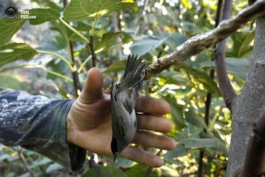 Амбелопулия. Блюдо из певчих птиц. Фотографии